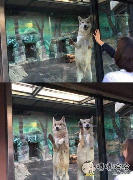 一妹子去大阪动物园玩,偶遇一只全力卖萌的狼,正拍着,没想到又来了一只一