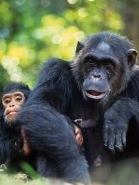 危险中的猿